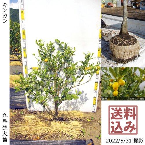 【予約商品】大苗◇柑橘類 キンカン(金柑)[地掘苗 2016年:S]〜実付実績〜