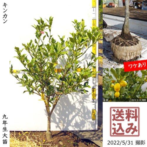 柑橘類 キンカン(金柑)[地掘苗 2013年:3S]〜実付実績〜