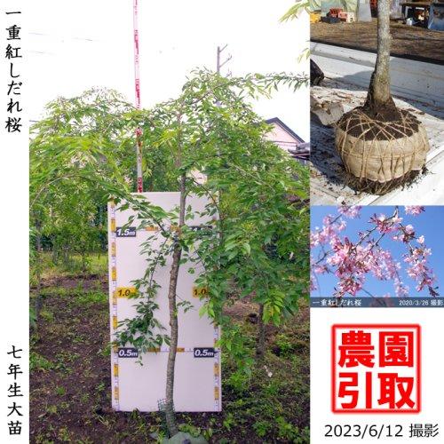 大苗◇サクラ(桜) 一重紅しだれ桜[地掘苗 2017年:3L(樹高high)]*農園引取のみ