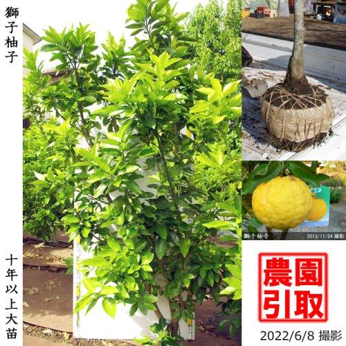 大苗◇柑橘類 獅子柚子(ししゆず・おにゆ)[地掘苗 2013年:LL]*農園引取のみ