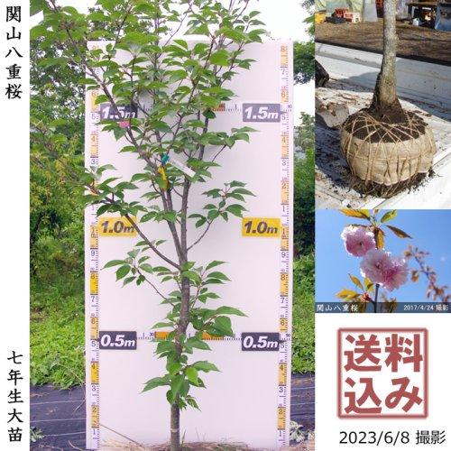 大苗◇サクラ(桜) 関山(カンザン)八重桜[地掘苗 2017年:LL(cutあり)]