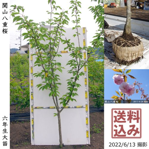 大苗◇サクラ(桜) 関山(カンザン)八重桜[地掘苗 2017年:LL]*農園引取のみ