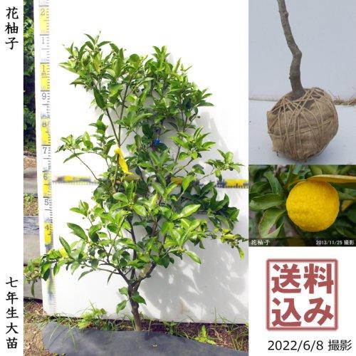大苗◇柑橘類 獅子柚子(ししゆず・おにゆ)[地掘苗 2013年:M]