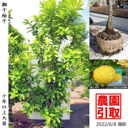 大苗◇柑橘類 獅子柚子(ししゆず・おにゆ)[地掘苗 2013年:L]