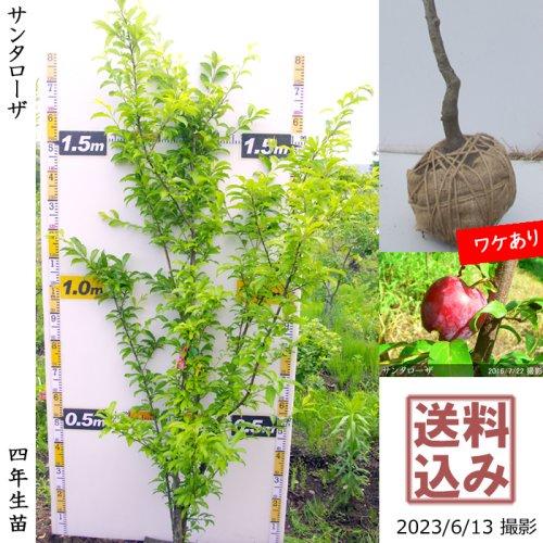 大苗◇柑橘類 獅子柚子(ししゆず・おにゆ)[地掘苗 2014年:L]