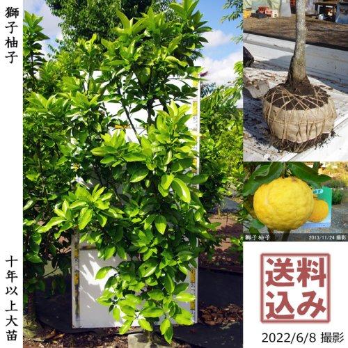 大苗◇柑橘類 獅子柚子(ししゆず・おにゆ)[地掘苗 2014年:LL]*農園引取のみ