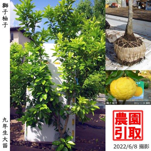 柑橘類 獅子柚子(ししゆず・おにゆ)[地堀苗 2015年:大]