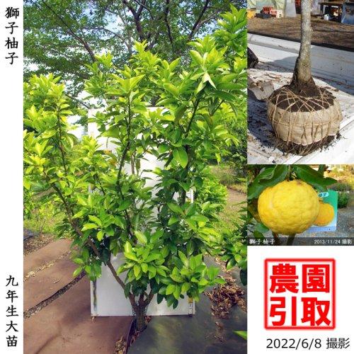 大苗◇柑橘類 獅子柚子(ししゆず・おにゆ)[地掘苗 2014年:LL]