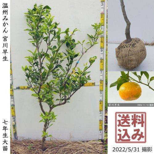 柑橘類 温州みかん宮川早生[地掘苗2014年:大]〜実付実績〜◆根回し済◆