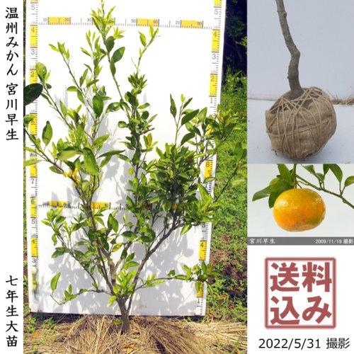 柑橘類 温州みかん宮川早生[地掘苗2016年:中]〜実付実績〜◆根回し済◆