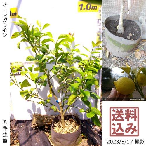 大苗◇柑橘類 レモン(檸檬) ユーレカ[地掘苗 2016年:S]