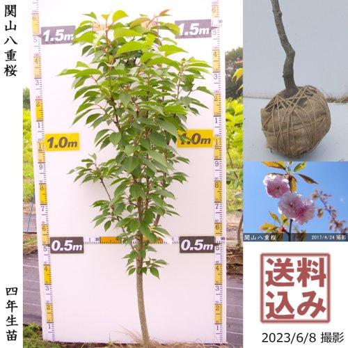 大苗◇サクラ(桜) 関山(カンザン)八重桜[地掘苗 2017年:L(cutあり)]