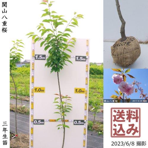 サクラ(桜) 関山(カンザン)八重桜[地掘苗 2017年:中]