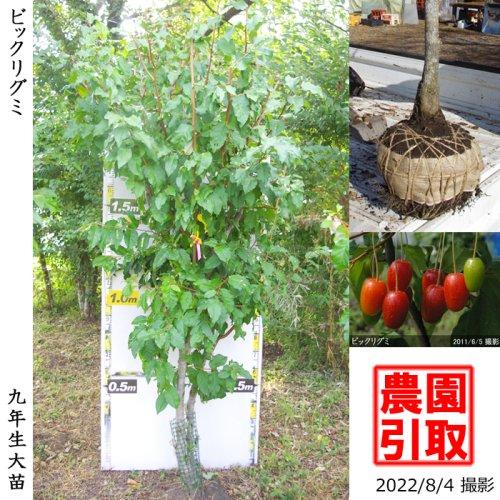 大苗◇グミ(茱萸)ビックリグミ[地掘苗 2014年:3L]〜実付実績〜*農園引取のみ