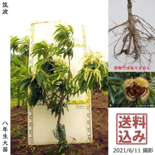 クリ(栗 中生種)利平(りへい)[ふるい苗 2016年:小]