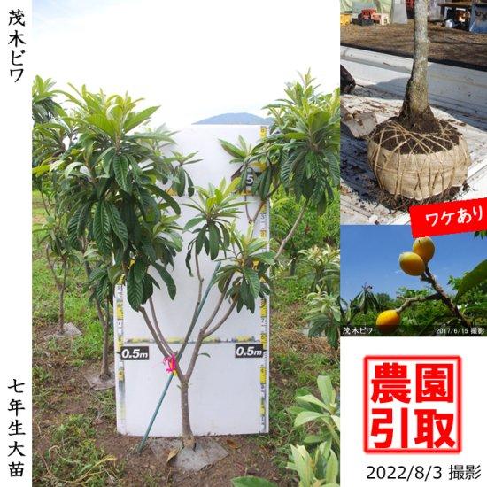 大苗◇常緑樹 ビワ(枇杷) 田中びわ[地堀苗2011年:大]◆ワケあり