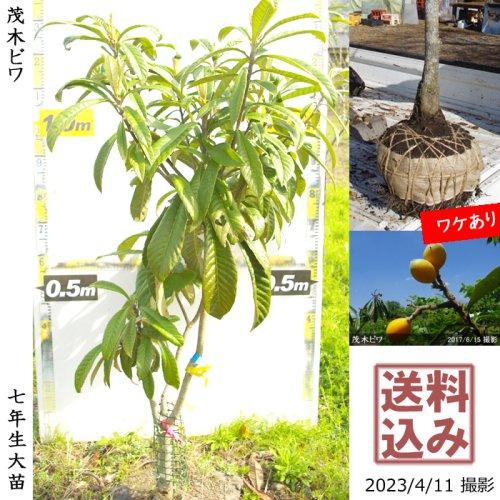 ビワ(枇杷) 茂木びわ[地堀苗2015年:大]◆根回し済◆