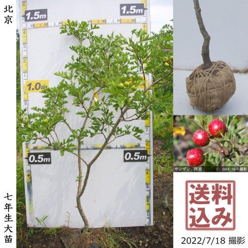 大苗◇サクランボ(桜桃)暖地さくらんぼ[地掘苗 2017年:L]