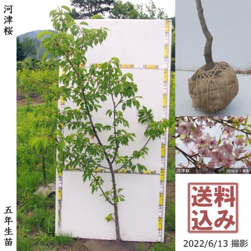 2年生苗◇サクラ(桜) 河津桜(カワヅザクラ)[地掘苗 2018年:L]