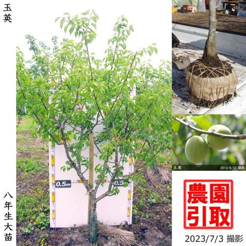 大苗◇ウメ(実梅) 玉英(ぎょくえい)[地掘苗 2016年:L]