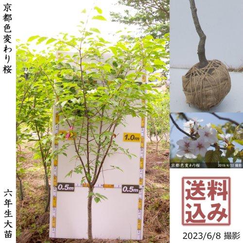 2年生苗◇サクラ(桜) 京都色変わり桜[地掘苗 2018年:LL]