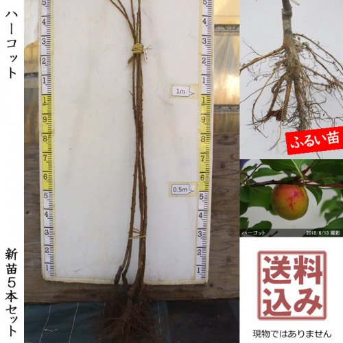 アンズ(杏) ハーコット[地掘苗 2015年:3L]〜実付実績〜*農園引取のみ