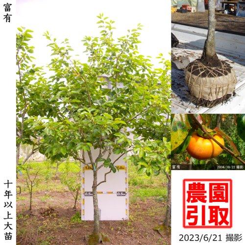 大苗◇カキ(甘柿) 富有(ふゆう)[地掘苗 2016年:L]◆根回し済◆
