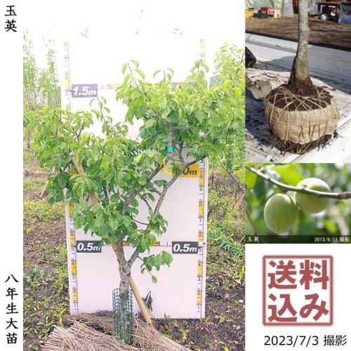 大苗◇ウメ(実梅) 玉英(ぎょくえい)[地掘苗 2016年:M]