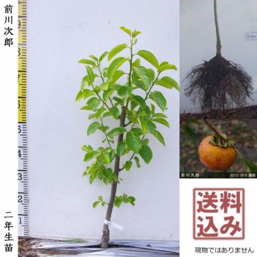 カキ(甘柿) 前川次郎(まえかわじろう)[地掘苗 2011年:中]〜実付実績〜◆ワケあり