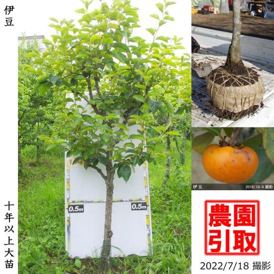 大苗◇カキ(甘柿) 富有(ふゆう)[地掘苗 2004年:小]【B】◆ワケあり