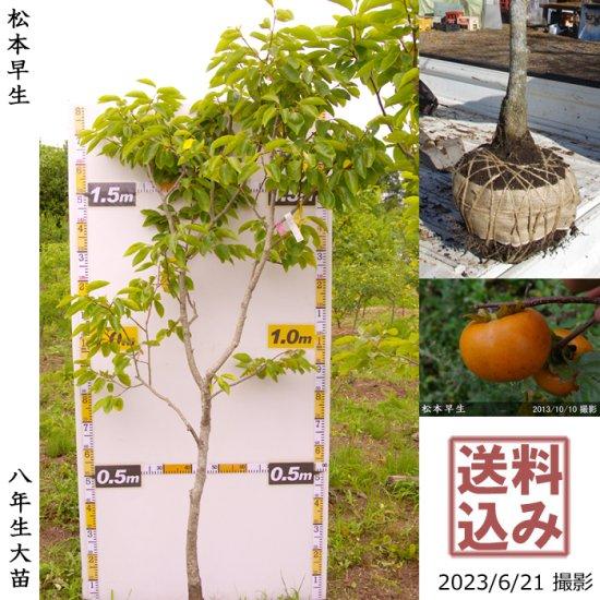大苗◇カキ(甘柿) 富有(ふゆう)[地掘苗 2004年:小]【C】 ◆ワケあり
