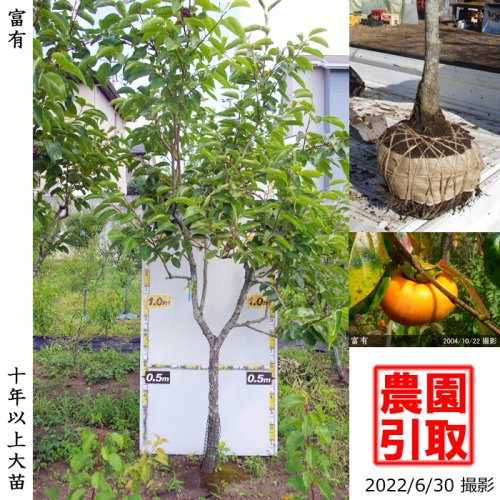 カキ(甘柿)富有(ふゆう)[地掘苗2004年:特大]〜実付実績〜*農園引取のみ