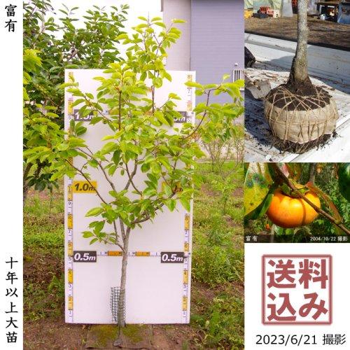 大苗◇カキ(甘柿)富有(ふゆう)[地掘苗 2013年:L]〜実付実績〜◆根回し済◆
