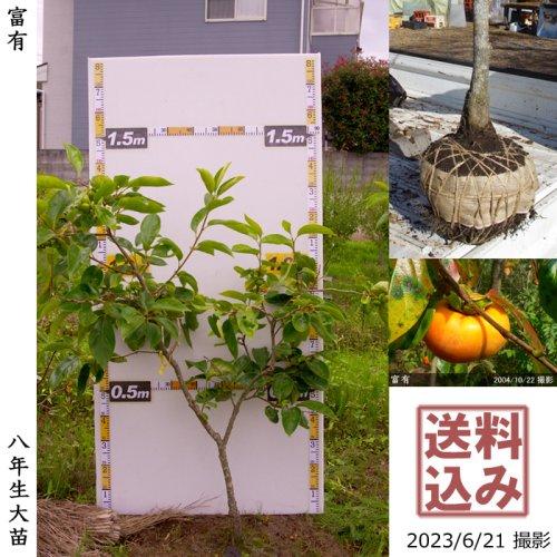 大苗◇カキ(甘柿)富有(ふゆう)[地掘苗 2013年:S]