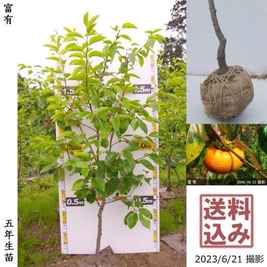 大苗◇カキ(甘柿)富有(ふゆう)[地掘苗 2011年:中]◆ワケあり