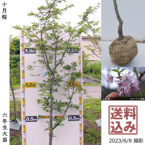 大苗◇サクラ(桜)十月桜(ジュウガツザクラ)[地掘苗 2018年:3L(樹高high)]*農園引取のみ