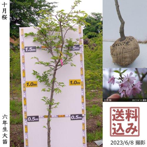 大苗◇サクラ(桜)十月桜(ジュウガツザクラ)[地掘苗 2017年:L]◆根回し済◆