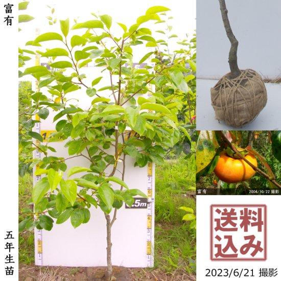 大苗◇カキ(甘柿) 富有(ふゆう)[地掘苗 2013年:大]◆ワケあり