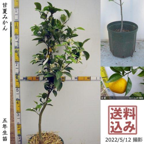 柑橘類 甘夏みかん[スリットポット苗 2016年:大]
