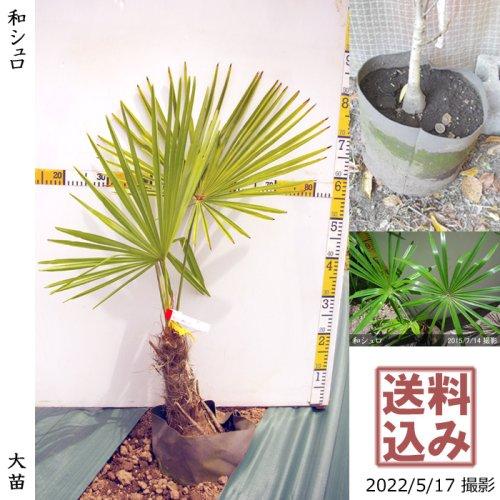 大苗◇常緑樹 和シュロ[24cm地中ポット苗:L]