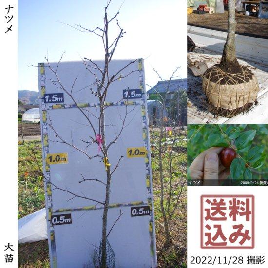 大苗◇カキ(甘柿) 富有(ふゆう)[地掘苗 2014年:中]【B】◆ワケあり