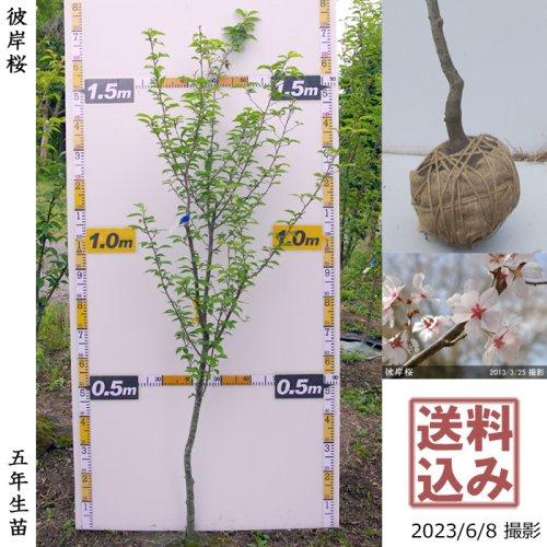 大苗◇サクラ(桜)彼岸桜(ヒガンザクラ)[地掘苗 2017年:M(樹高high)]*農園引取のみ