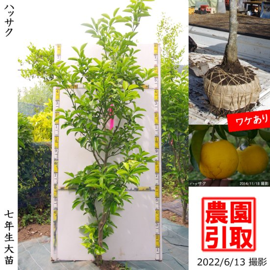大苗◇柑橘類 ハッサク(八朔)[地掘苗 2012年:特大]