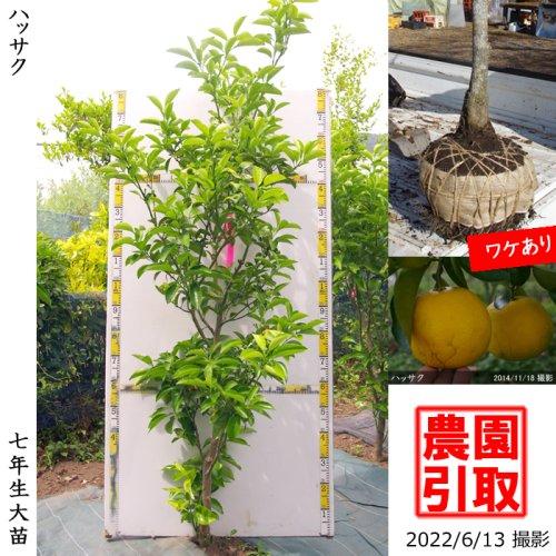 大苗◇柑橘類 ハッサク(八朔)[地掘苗 2016年:L]
