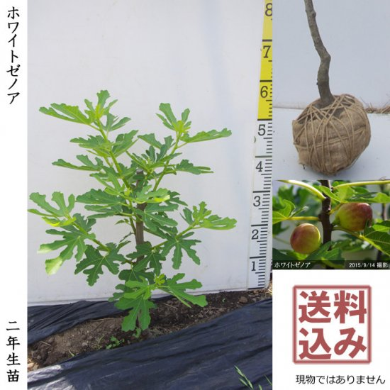大苗◇柑橘類 ハッサク(八朔)[地掘苗 2015年:特大]