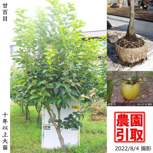 カキ(不完全甘柿)甘百目(あまひゃくめ)[地掘苗 2010年:大]〜実付実績〜
