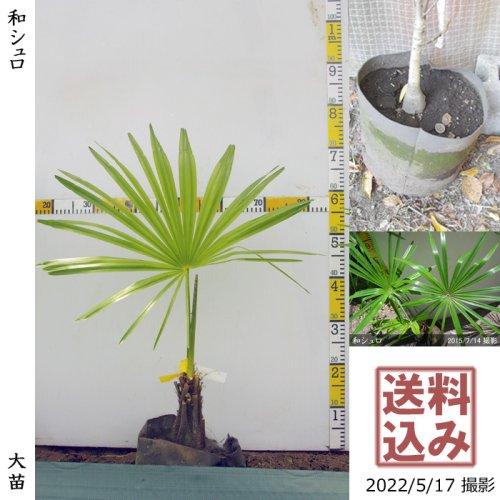 大苗◇常緑樹 和シュロ[24cm地中ポット苗:M]