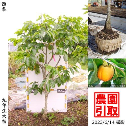カキ(渋柿) 西条(さいじょう)[地掘苗 2015年:中]◆ワケあり