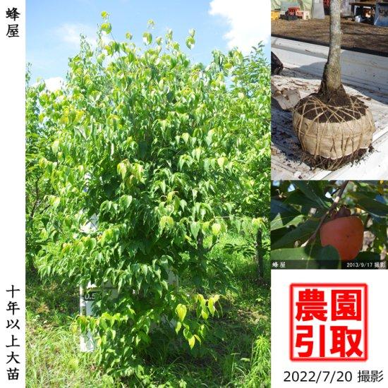 大苗◇カキ(渋柿) 西条(さいじょう)[地掘苗 2015年:中]◆ワケあり
