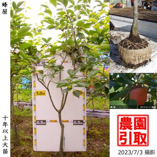 カキ(渋柿)蜂屋(はちや)[地掘苗 2015年:特大]〜実付実績〜